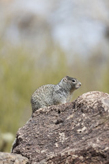 Ground squirrel in Arizona
