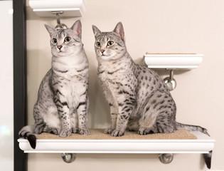 Two Cute Egyptian Mau Cats Sitting on a Shelf