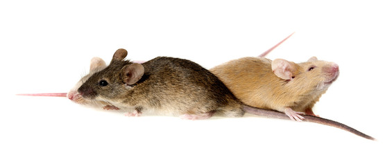 three cute mice isolated on a white background