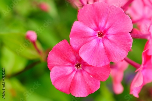 Pink Phlox Flowers on Flower Bed