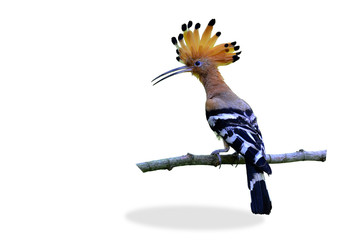 Common Hoopoe or Eurasian Hoopoe