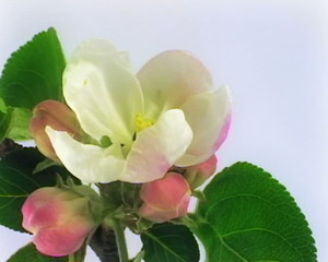 Timelapse blooming apple flowers