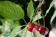 sour cherries on the branch
