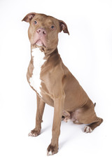 Pitbull sitting on white background