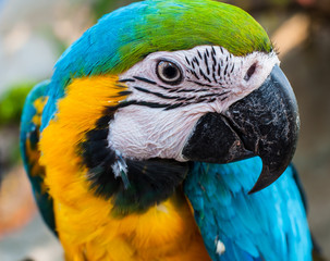 Blue & Gold Macaw closeup