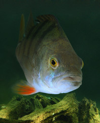 Underwater photo of The European Perch (Perca fluviatilis).