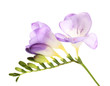 Purple freesia flower, isolated on white