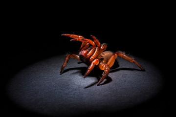 aggressive trapdoor spider