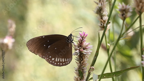 Spotted Black Crow butterfly sucking nectar from flower