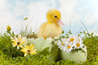 Cute easter duckling