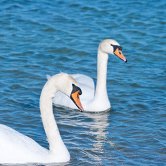 two white swans is floating