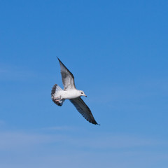 seagul flying at the blue sky