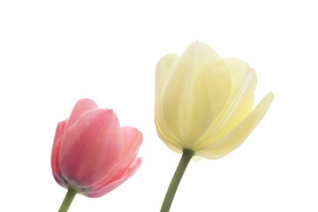 Pink and white tulips isolated on white background