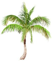 Illustration of the palm tree