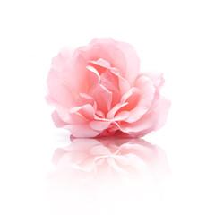 Rosa Rosenblüte