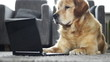 Dog is reading on laptop