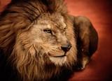 Fototapeta król - lew - Dziki Ssak