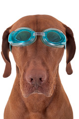 golden dog with swimming goggles