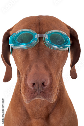 Foto op Canvas Dragen golden dog with swimming goggles