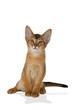 Katzen-Abessinier-0604