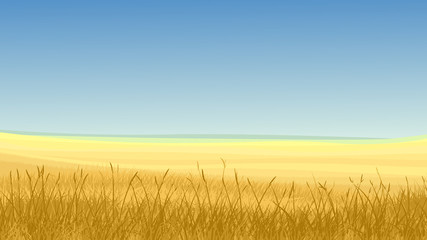 Field of yellow grass against blue sky.