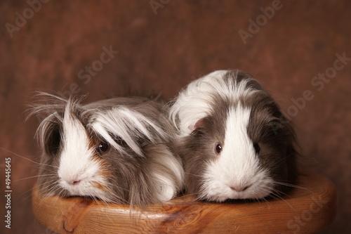 duo de cobayes à poils longs