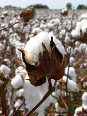 Cotton Boll 2
