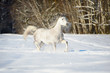 White Andalusian horse runs in winter time