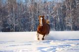 Red horse runs gallop in winter