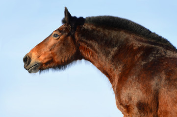 Bay horse portrait on the sky background