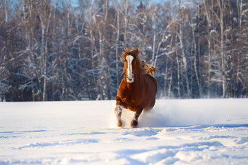 Red horse runs gallop in winter