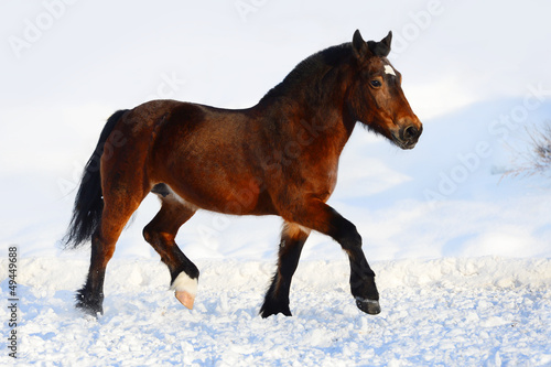 Bay draft horse portrait in motion in winter