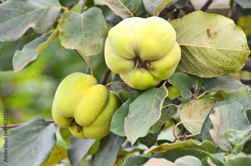 Green apple-quince on the branch of the tree