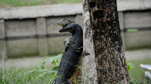 Giant Lizard mating and hugging on two legs in the rural area.