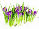 Crocus flowers in snow