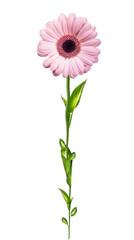 Gerber flower isolated on white