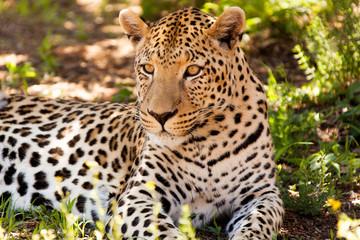 Leopard im Schatten