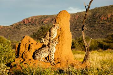 Geparden auf Termitenhügel