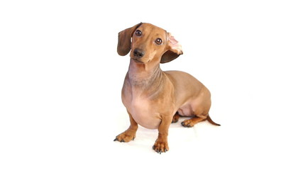 HD - Funny dachshund