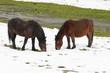 horses grazing in a snowy field