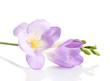Purple freesia flower, isolated on white