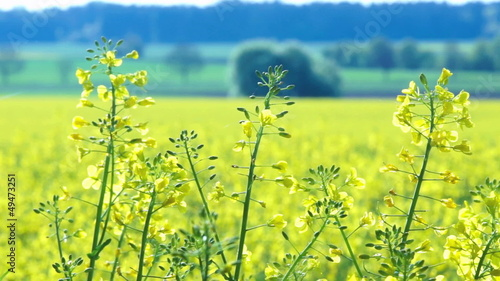 Close up of Oilseed Rape Flowers