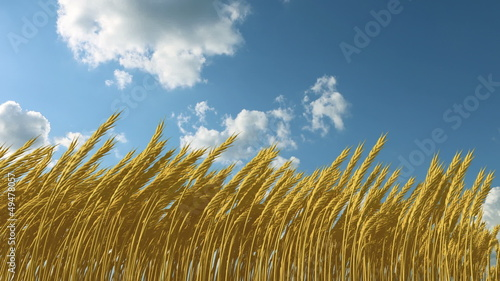 growing wheat against the sky, 3d animation and t-lapseclouds