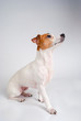 Obedient Jack Russell Terrier in Profile