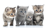 Portrait of young cats' group  . Studio shot. Isolated. - Fine Art prints