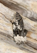 Small grey moth sitting on tree, macro photo