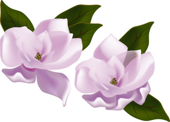 two pink magnolia flowers isolated on white