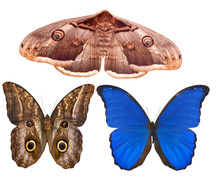 three large butterflies on white