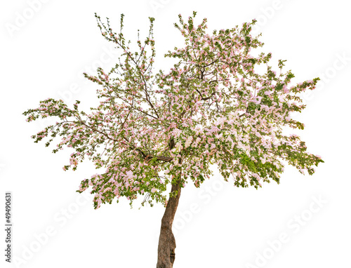 isolated apple tree with white flowers