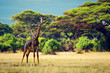 Giraffe on savanna. Safari in Amboseli, Kenya, Africa
